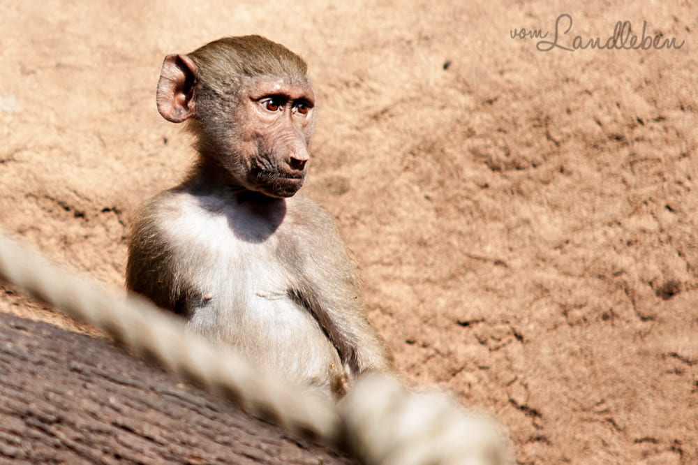 Affenkind im Kölner Zoo