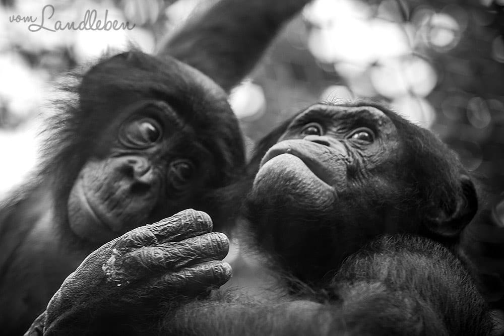 Bonobos im Kölner Zoo
