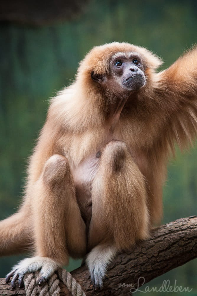 Gibbon im Kölner Zoo