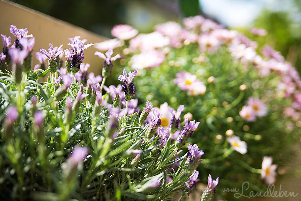 Lavendel und Margheriten