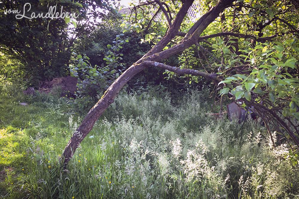 Obstbaum auf unserem Grundstück - Juni 2015