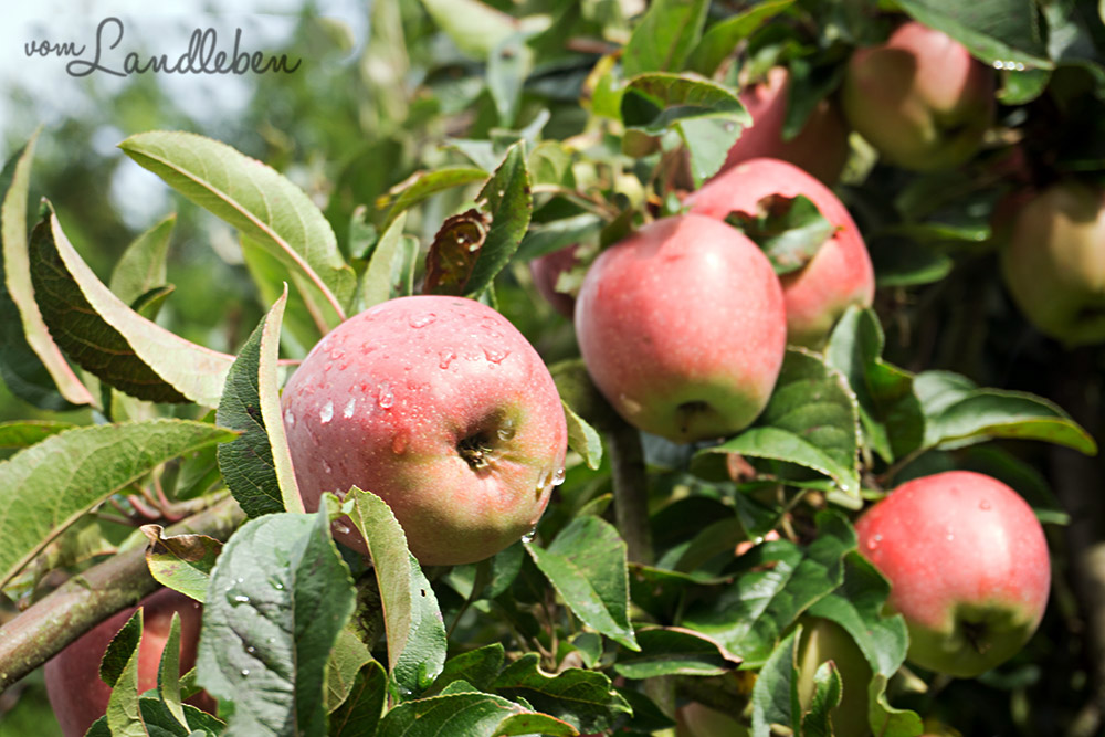 Apfelbaum auf unserem Grundstück - September 2015