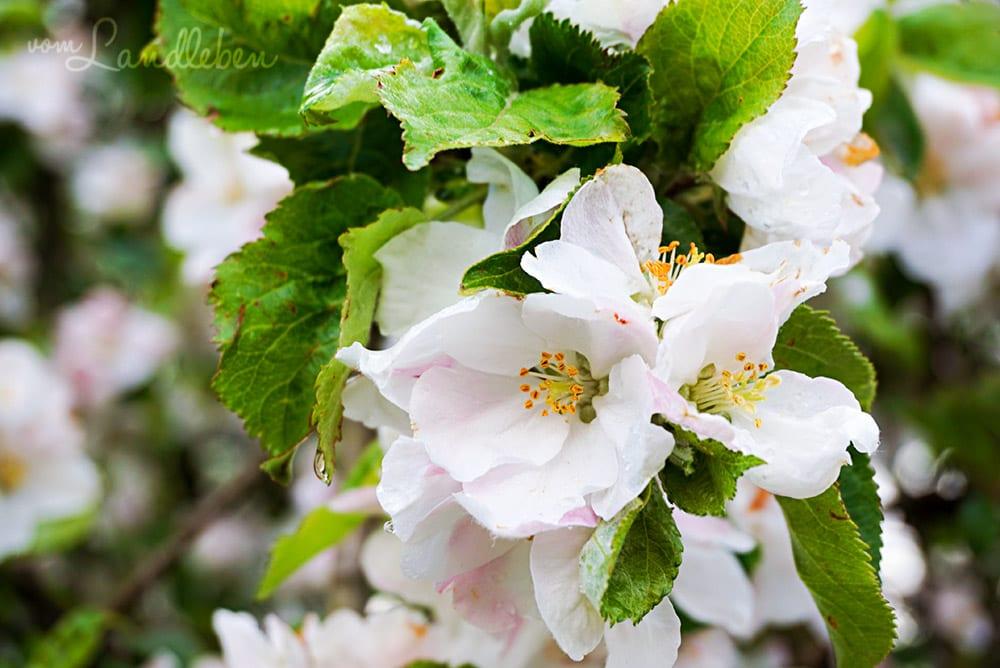 Auf dem Grundstück steht noch einer der Apfelbäume in voller Blüte