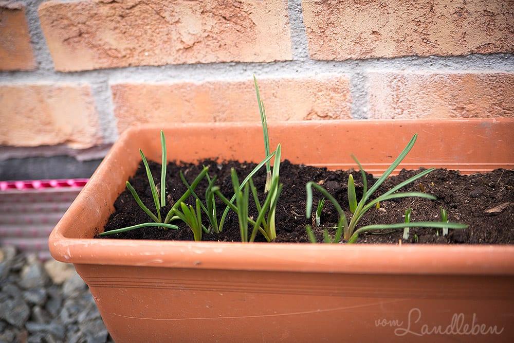 Unser Garten im Februar 2017 - Sternhyazinthen