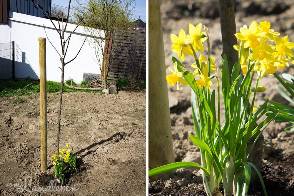 Gartenguckloch - Apfelbaum und Osterglocken