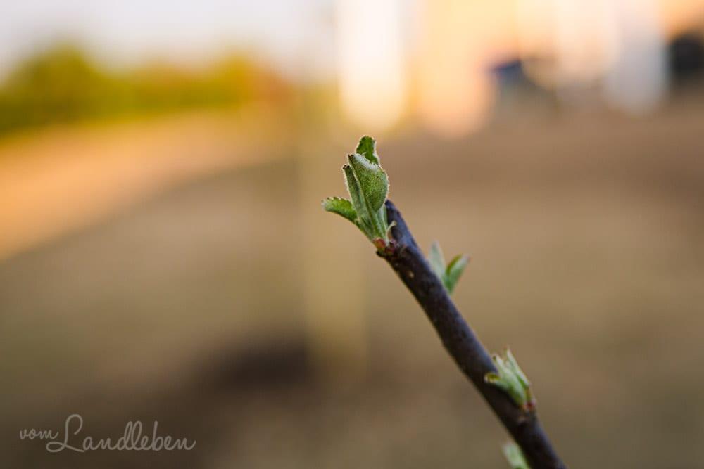 Die ersten Blätter am jungen Apfelbaum