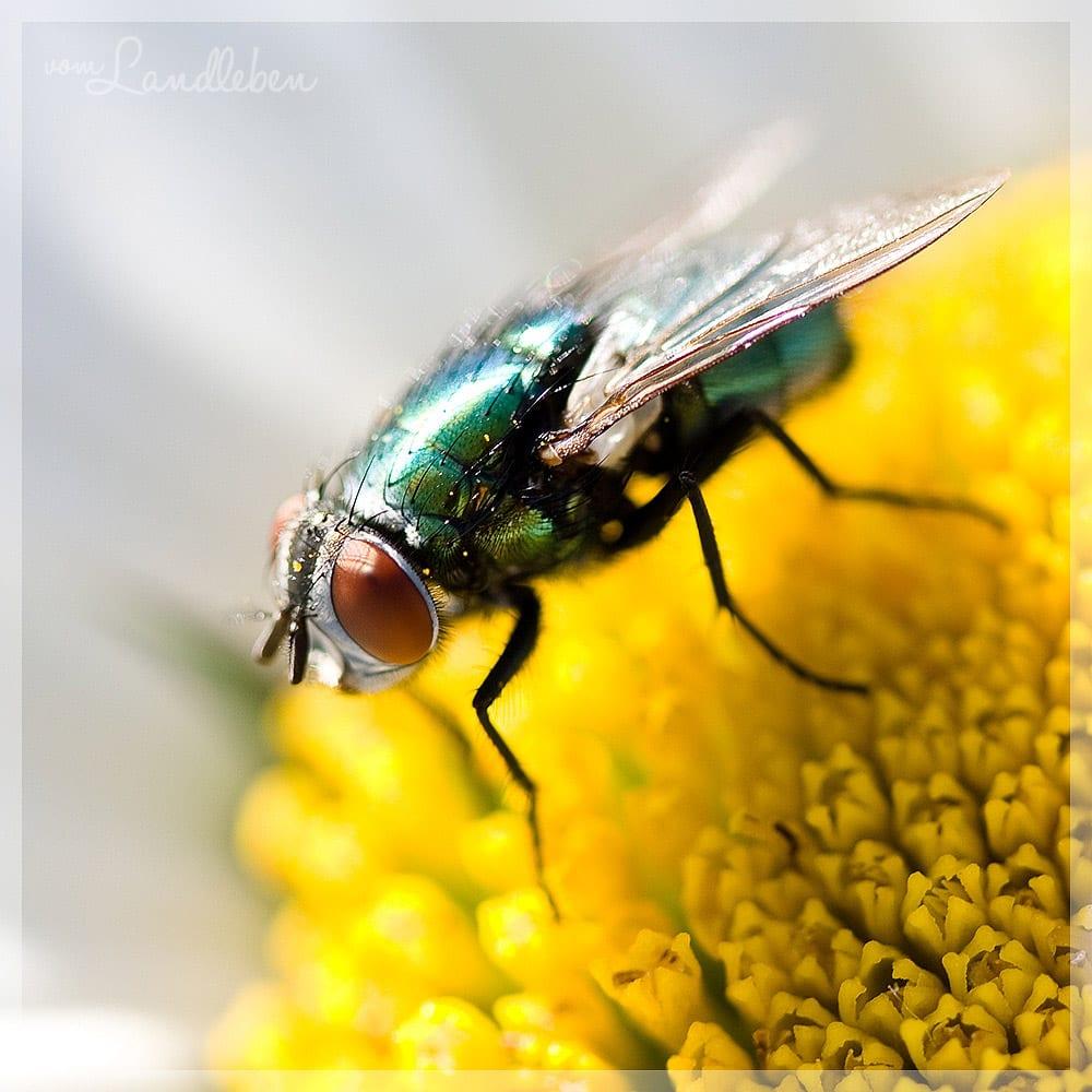 #fotoprojekt17 - Tiere - Fliege
