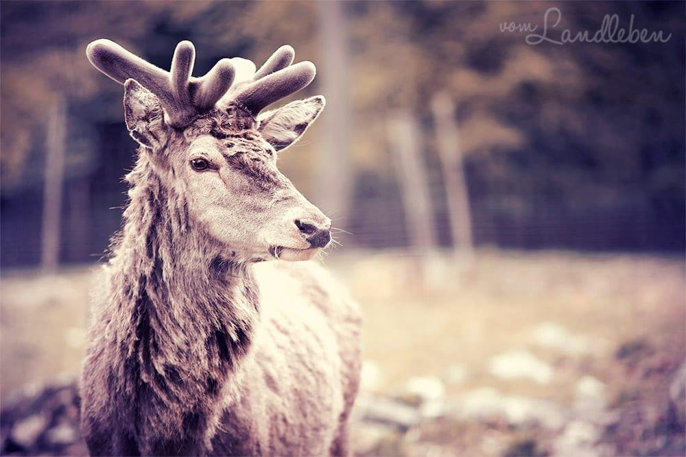 #fotoprojekt17 - Tiere - Hirsch