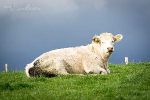 #fotoprojekt17 - Tiere - Kuh
