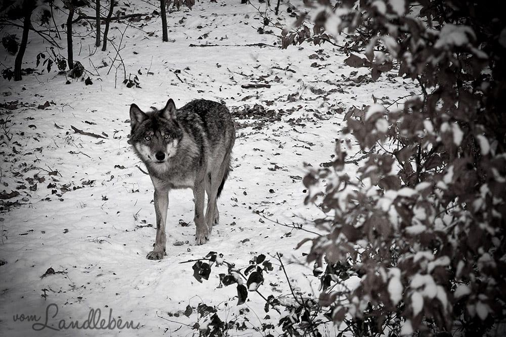 #fotoprojekt17 - Tiere - Wolf