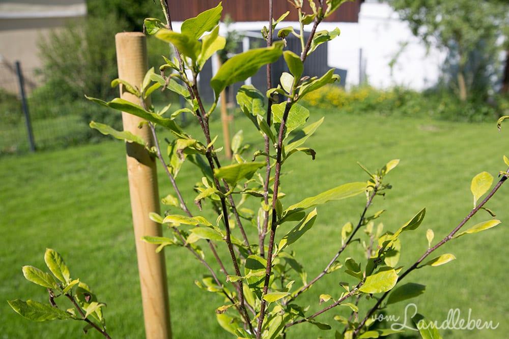 Gartenguckloch im Mai 2017 - Magnolie