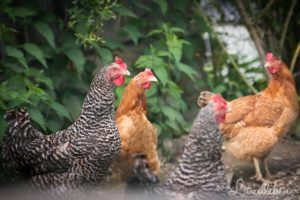 Hühner auf Hof Tüschenbonnen