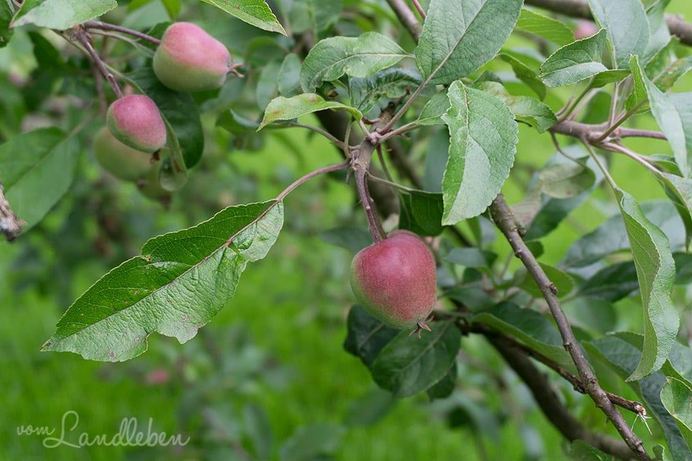 Unser Apfelbaum im Juni 2017