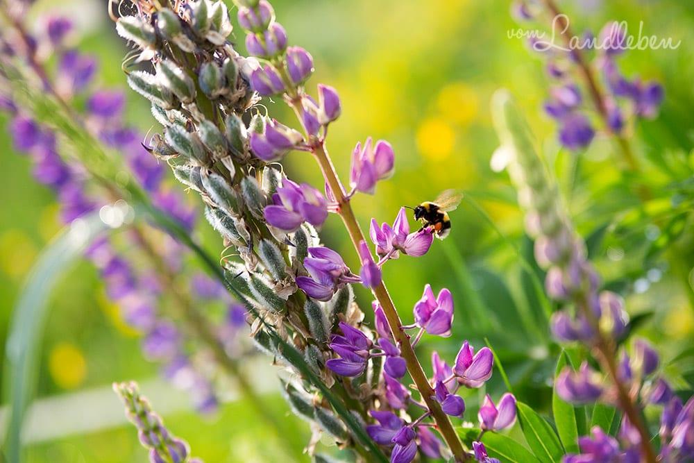 Biene an Lupinen