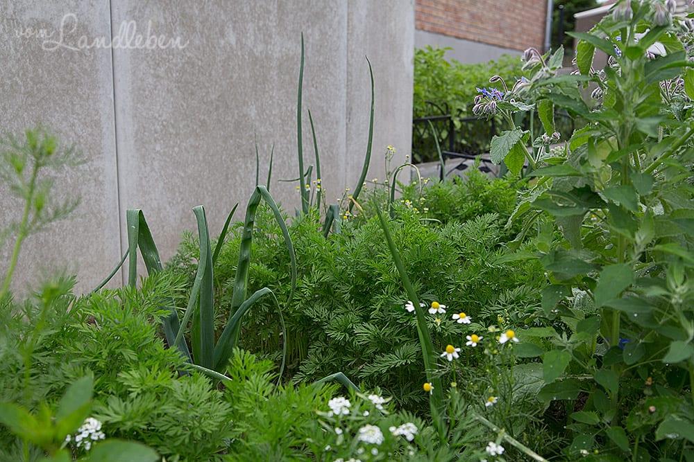 Kleines Gemüsebeet: Zwiebeln und Möhren