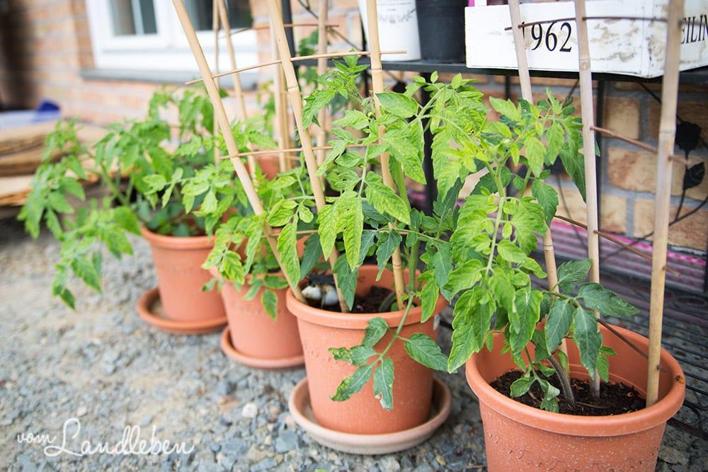 Unsere Tomaten im Juni 2017