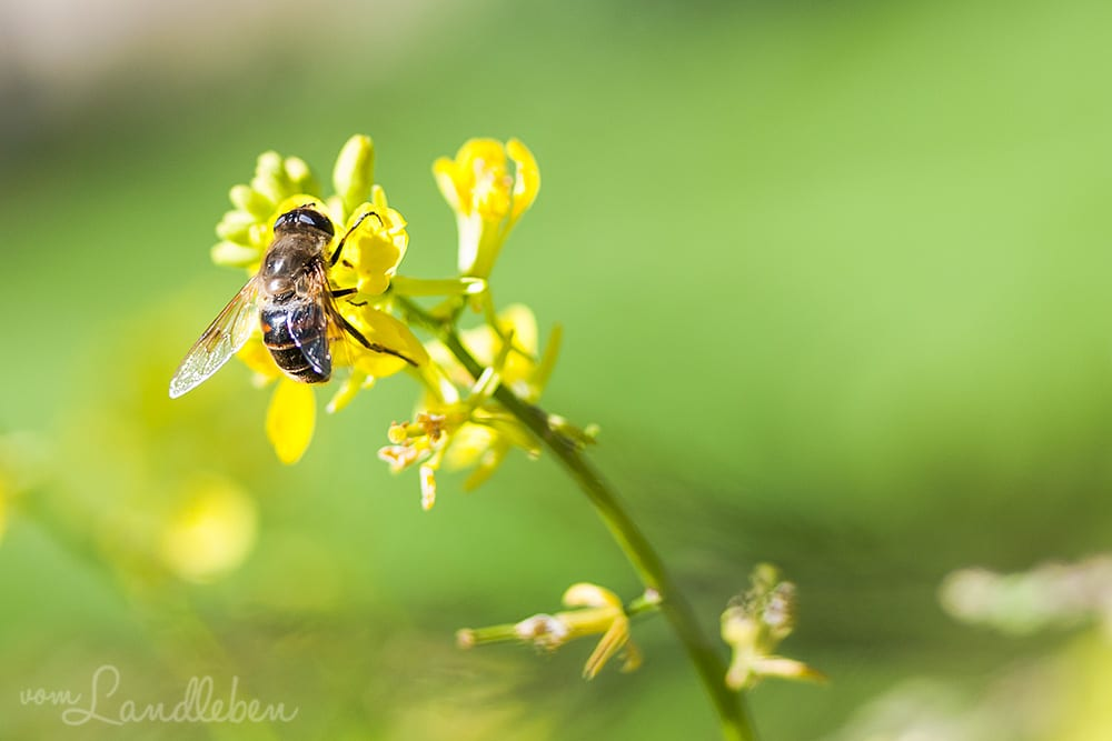 Insekten freuen sich über unsere Blumenwiese