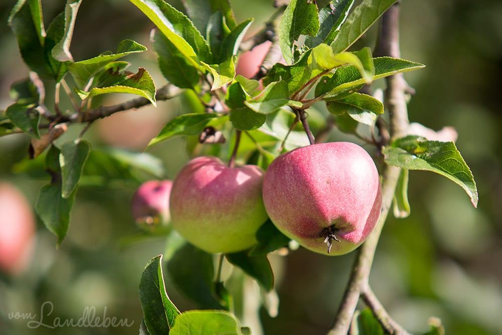 Unser Apfelbaum im Juli 2017