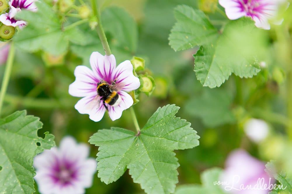 Biene an einer Malven-Blüte