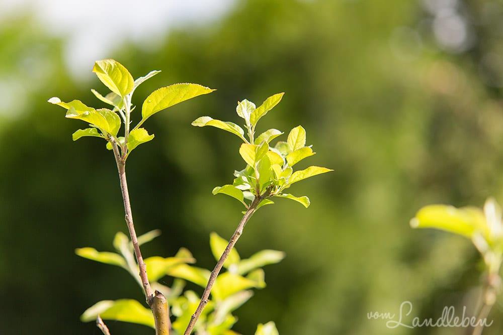 Der junge Apfelbaum im Juli 2017