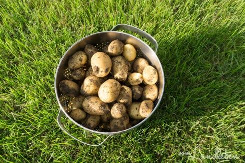 Kartoffeln aus eigener Ernte
