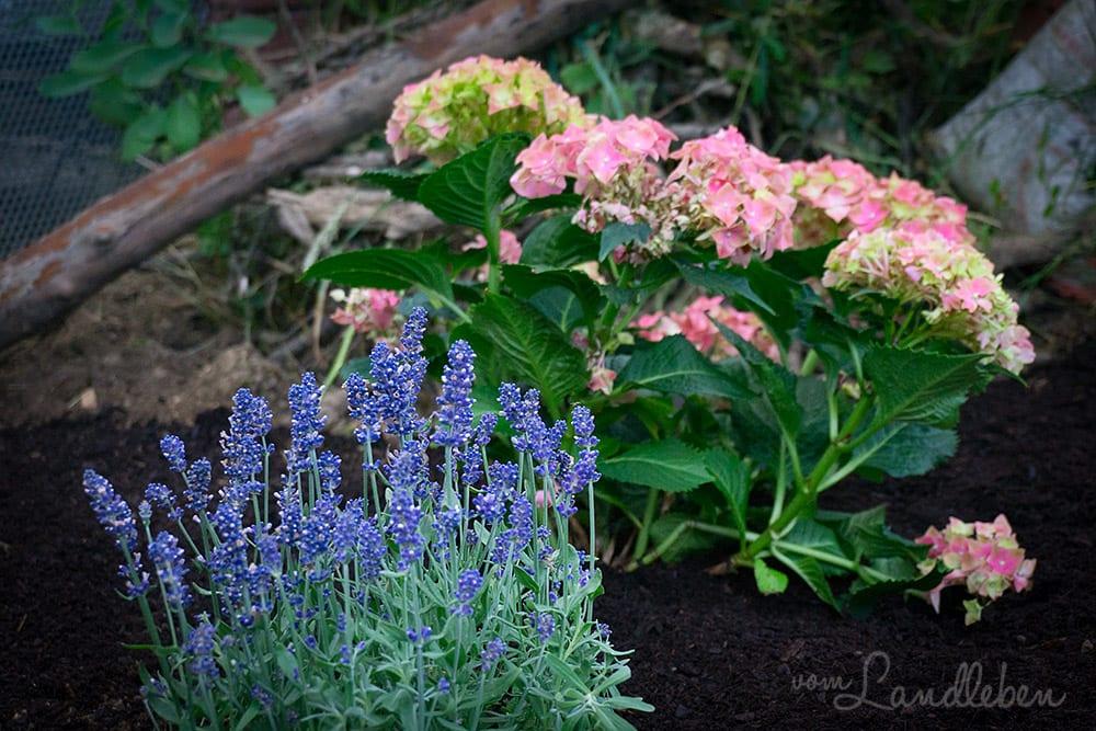 Lavendel und Hortensie