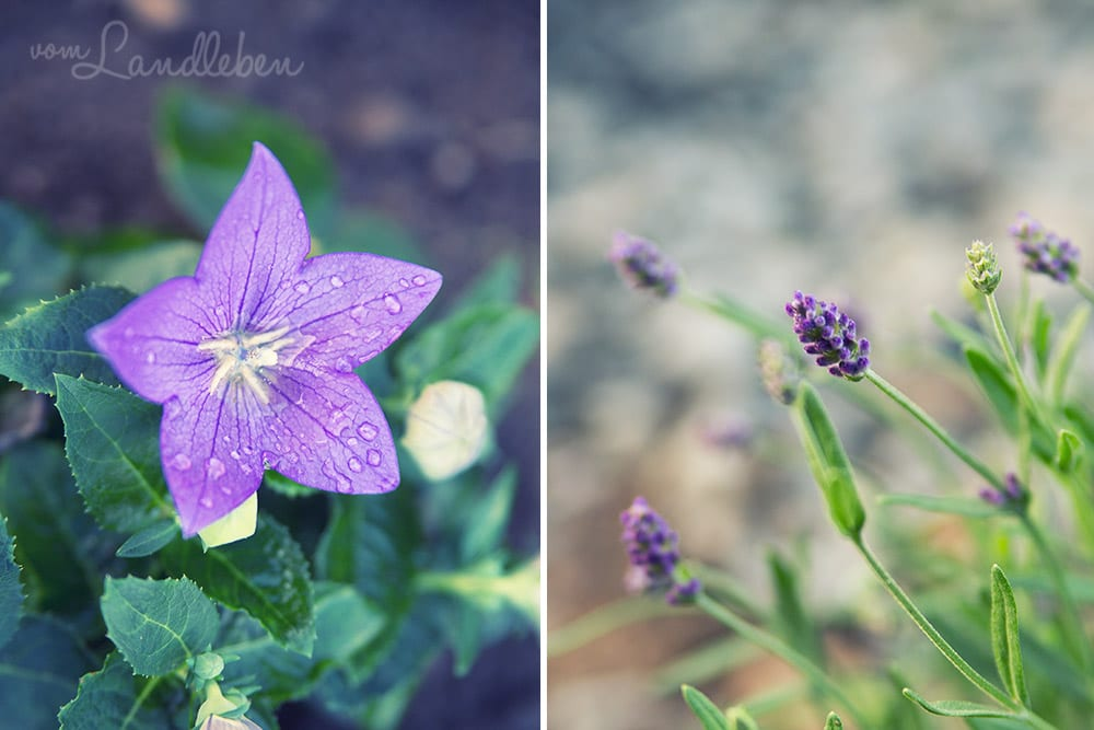Ballonblume und Lavendel