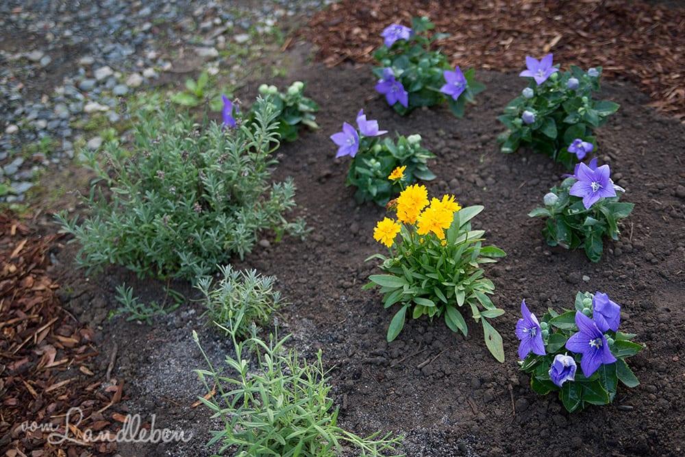Lavendel und Ballonblumen