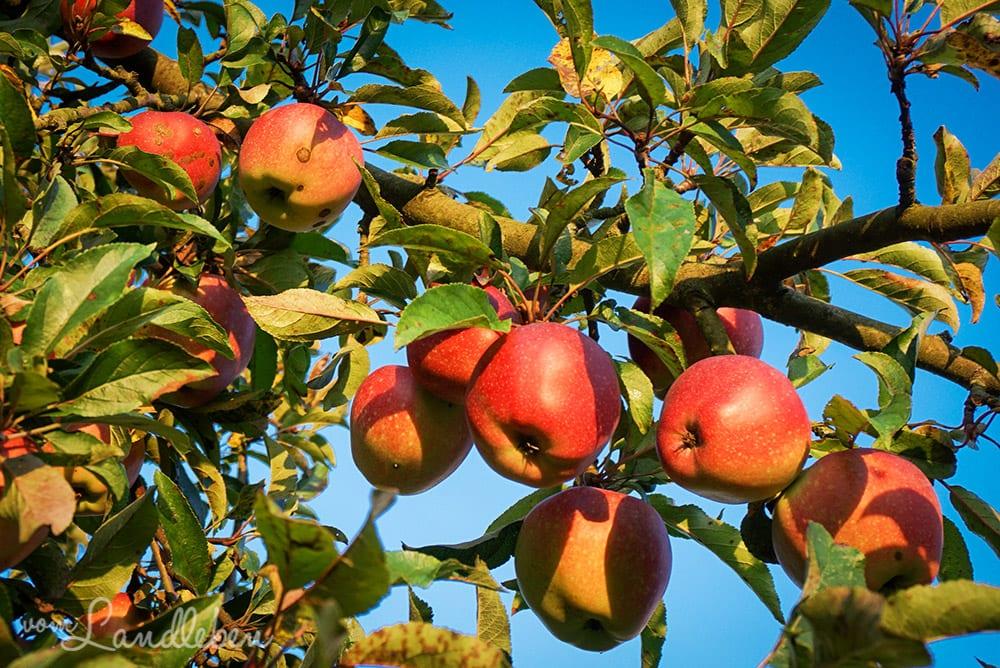 Äpfel im eigenen Garten