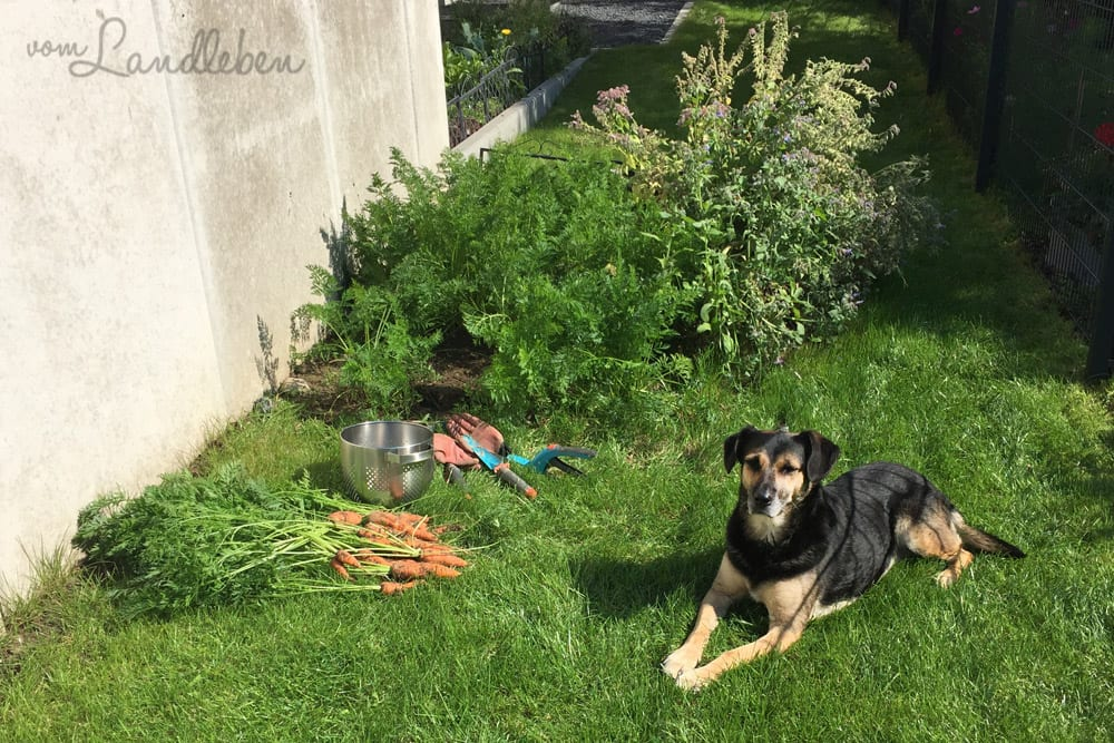 Möhren aus dem eigenen Garten