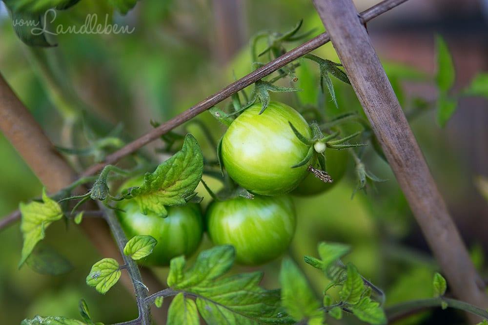 Tomaten im August 2017