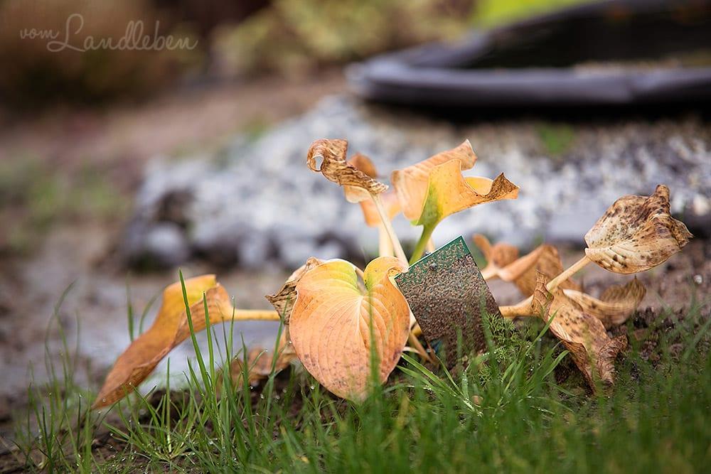 Gartenguckloch im Oktober 2017 – Hosta