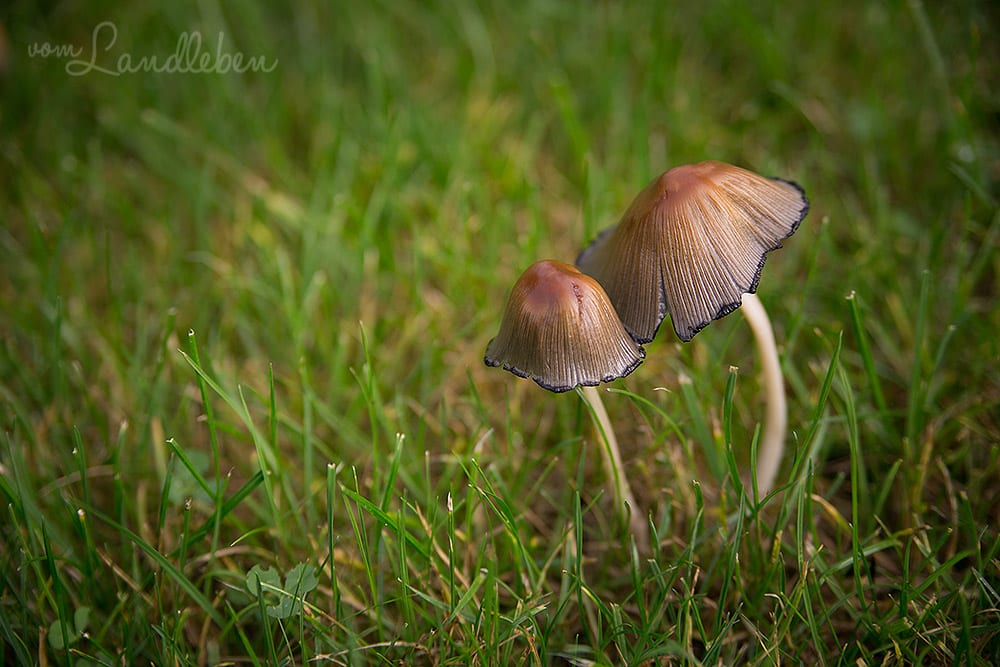 Gartenguckloch im Oktober 2017 – Pilze