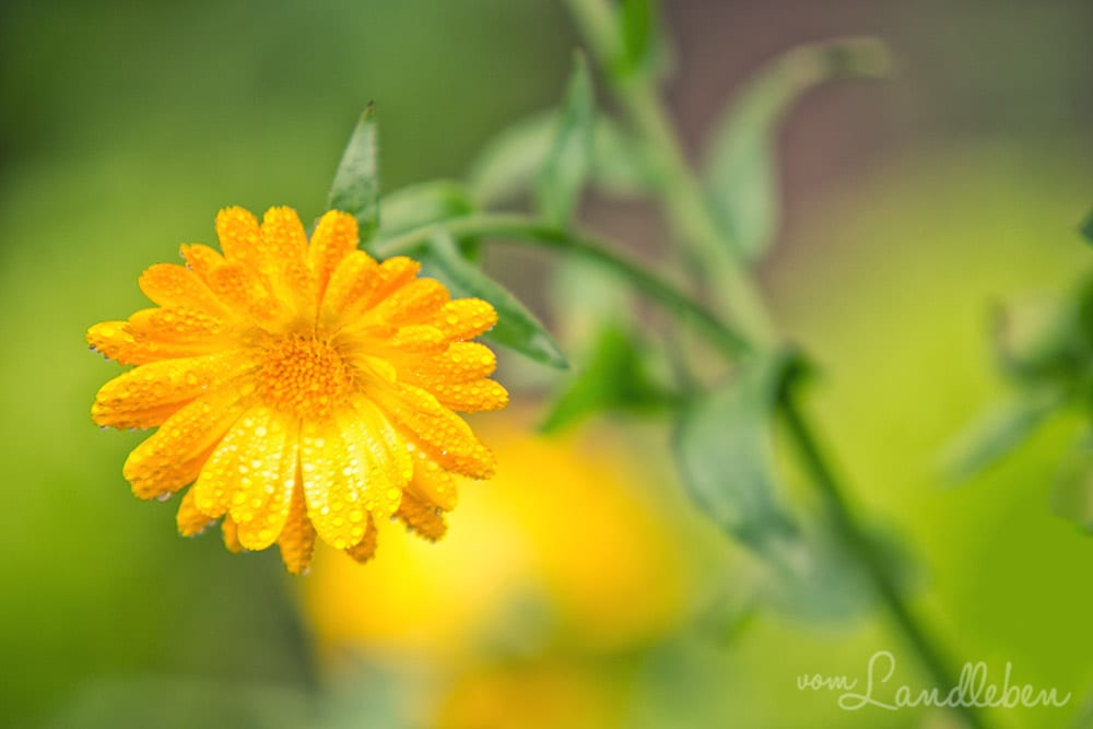 Gartenguckloch im Oktober 2017 – Ringelblume
