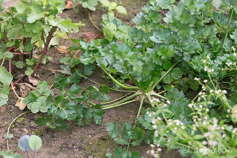 Gartenguckloch im Oktober 2017 – Knollensellerie