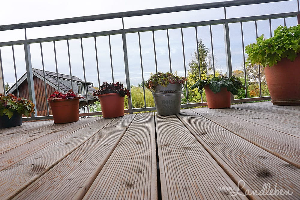 Heuchera auf dem Balkon