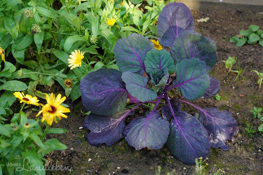 Rotkohl im Gemüsebeet