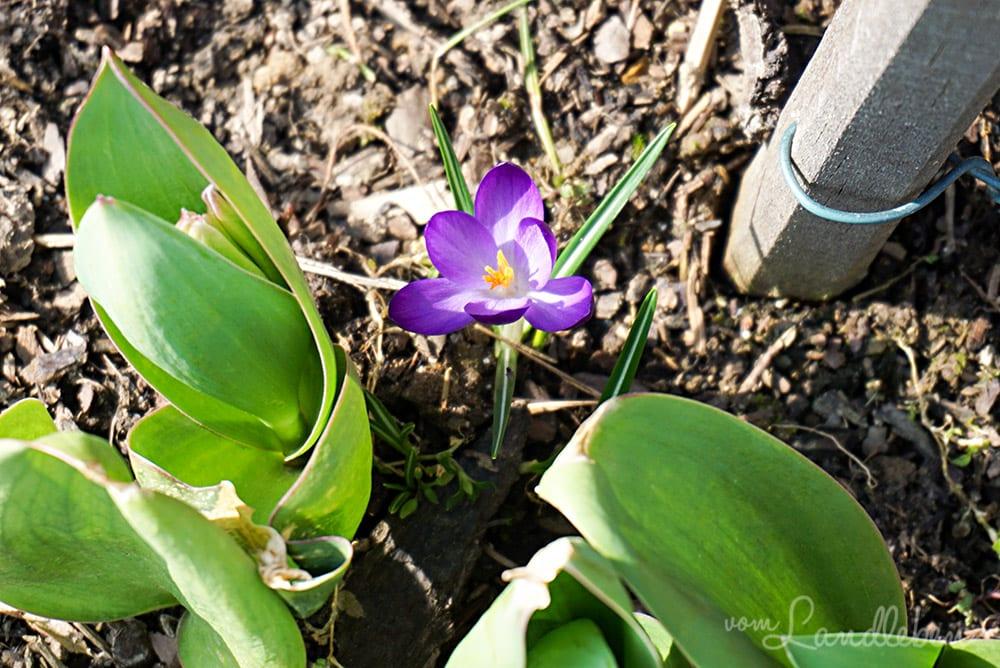 Krokus und Tulpen