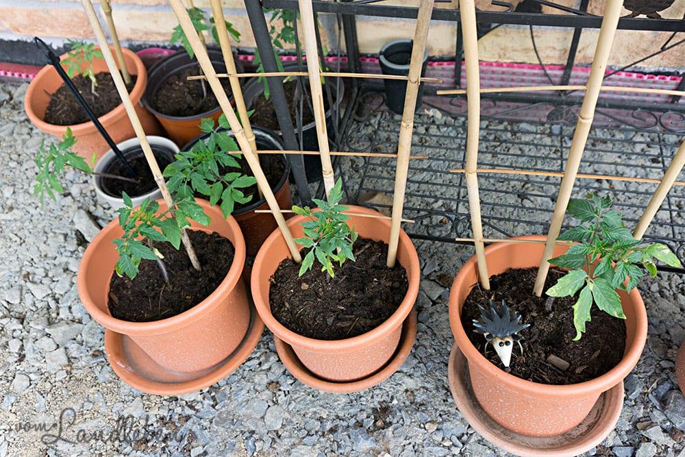 Junge Tomatenpflanzen – Juni 2017