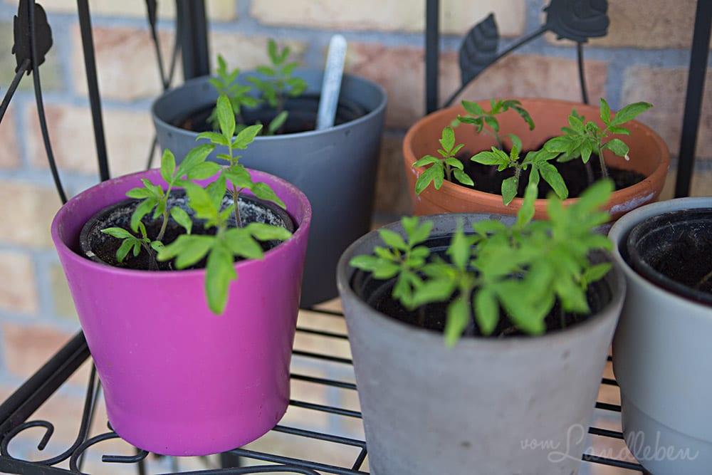 Junge Tomatenpflanzen – Mai 2017