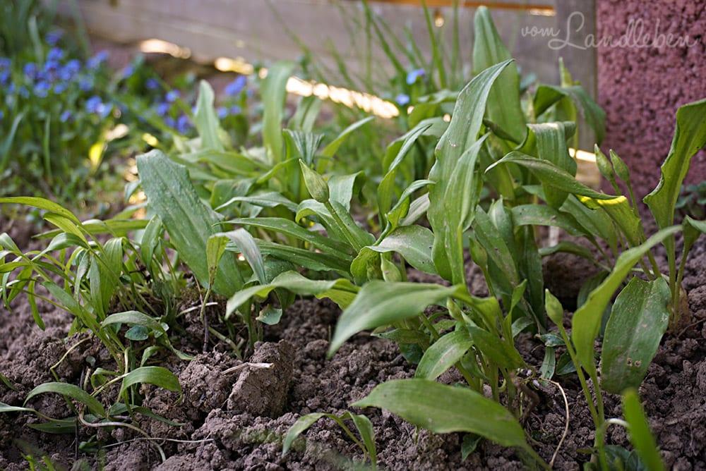 Bärlauch im eigenen Garten