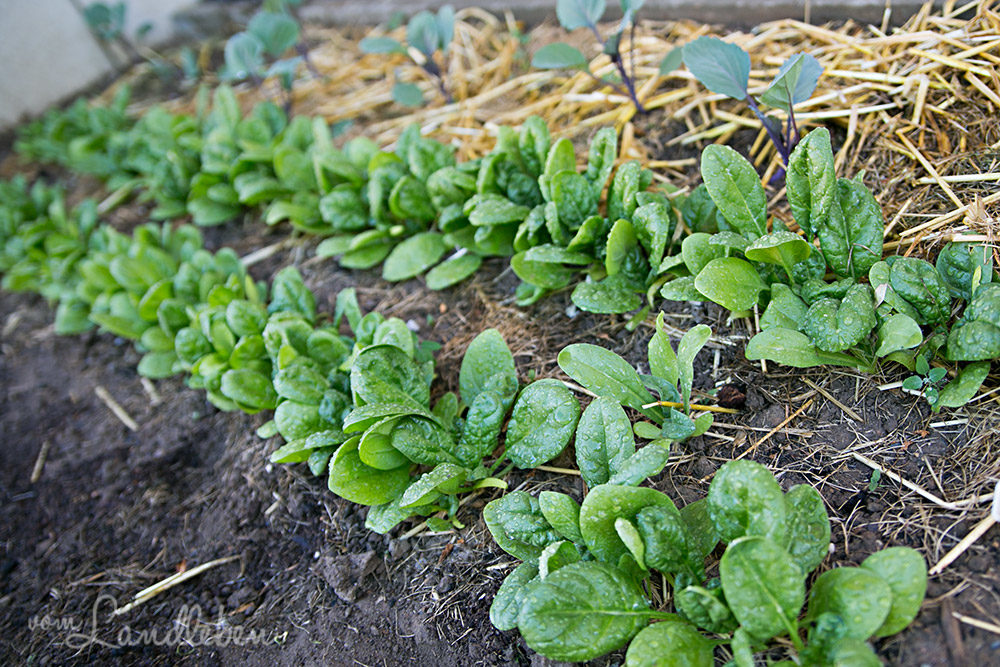 Spinat - schnell wachsendes Gemüse