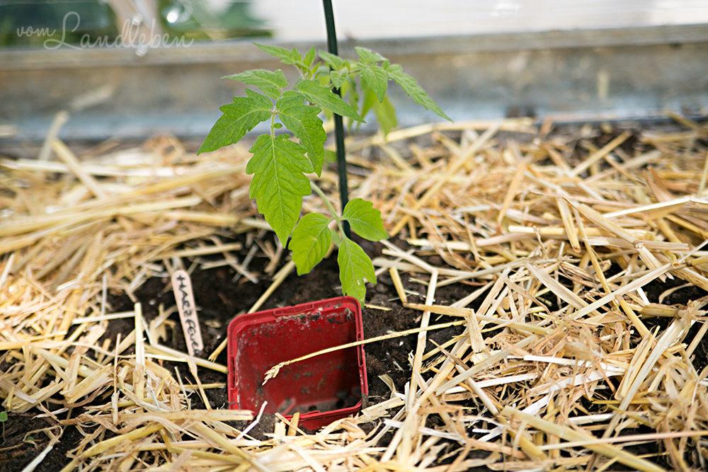 Frisch gepflanzte Tomate im Gewächshaus