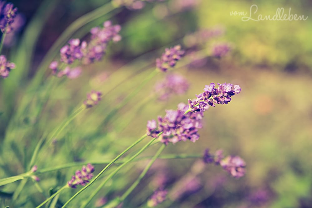 Lavendel im Juni 2018