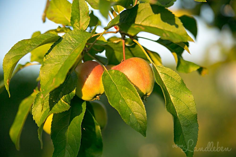 Apfelbaum im Juni 2018