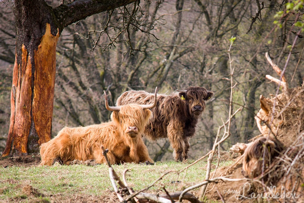 Schottische Hochlandrinder im Bergischen Land