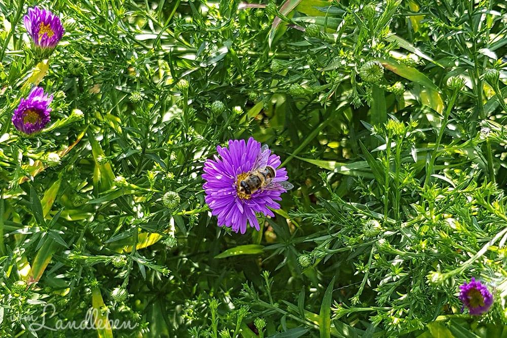 Biene auf einer Aster
