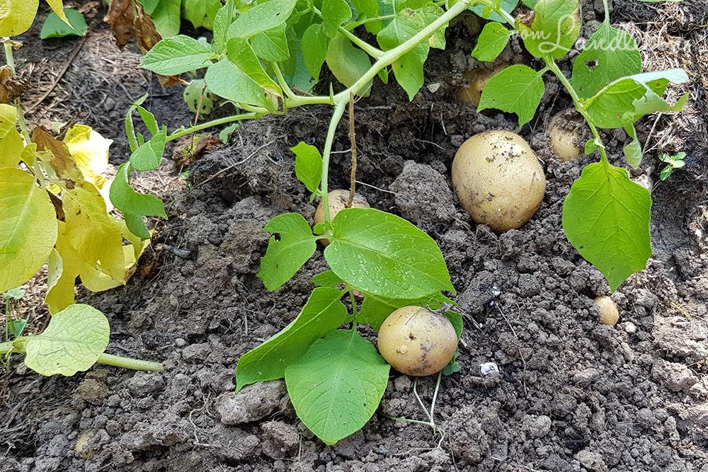 Kartoffelernte im Juli 2018