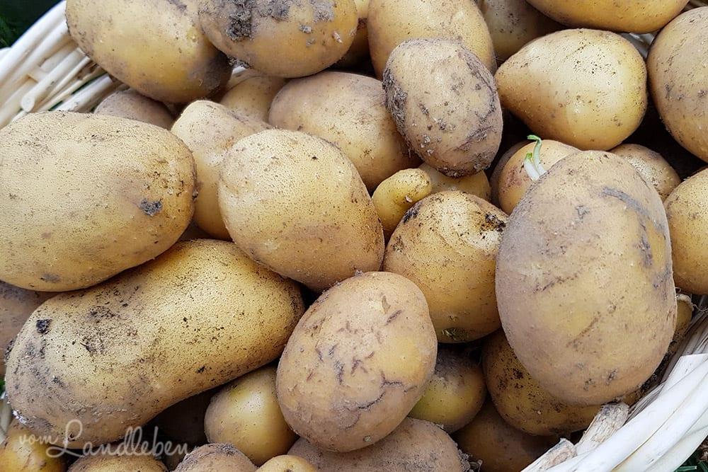 Kartoffeln selber anbauen und ernten