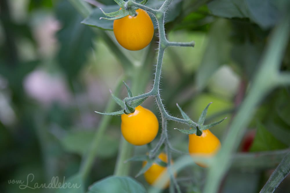 Tomate Gelbe Birne